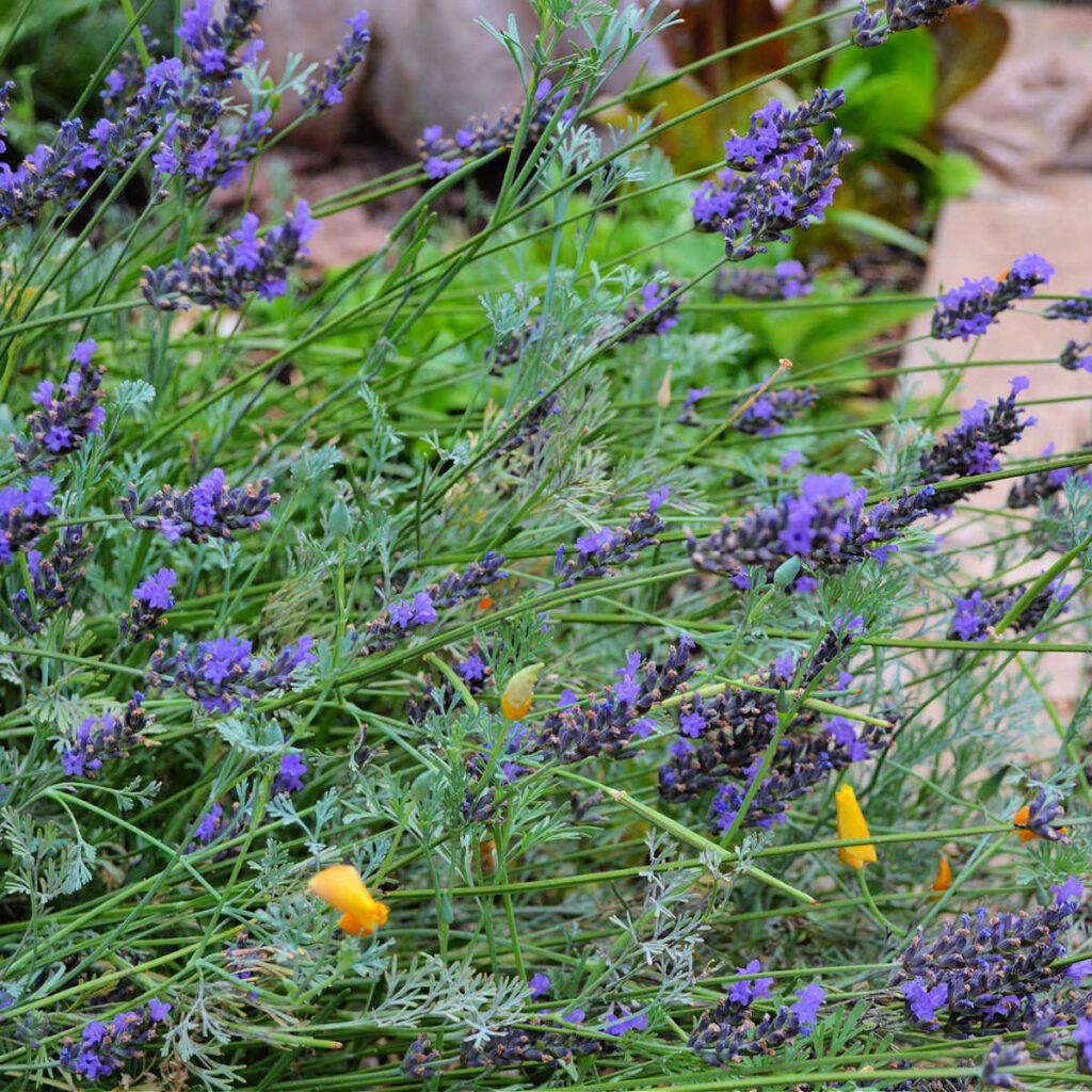 grosso lavender in spring