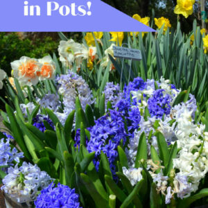Blooming Spring bulbs planted in pots and containers