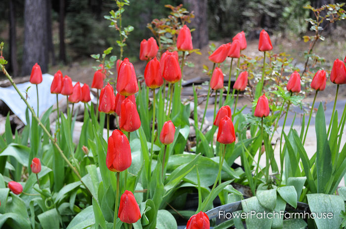 red tulips, planting bulbs in pots
