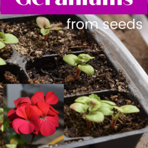 Geranium seedlings with photo of geranium flower overlay, text overlay reads Grow Geraniums from Seeds, Flower Patch Farmhouse dot com