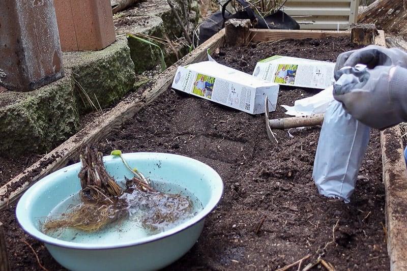 placing bareroot strawberries in tepid water to hydrate before planting