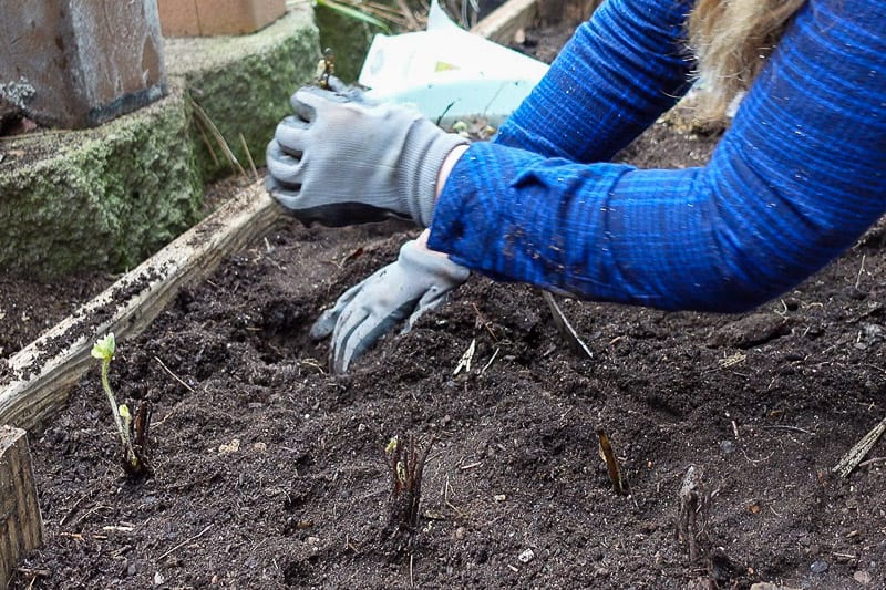 planting strawberries in raised bed