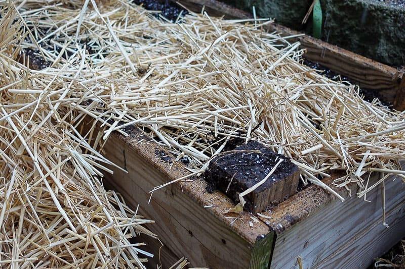 mulching strawberry plants with oat straw
