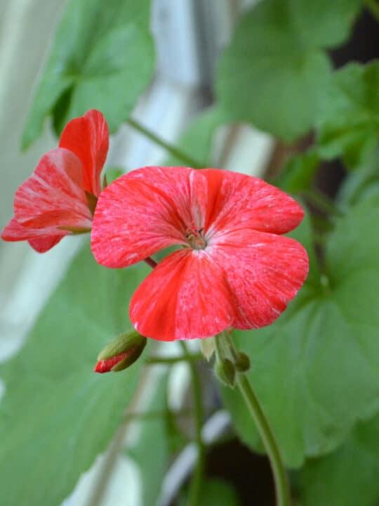 Raspberry Ripple Geranium Pelargonium