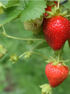 Strawberries on the vine, Plant strawberries, Flower Patch Farmhouse