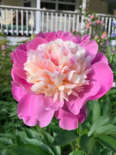 Bowl of Beauty Peony, Peony Planting