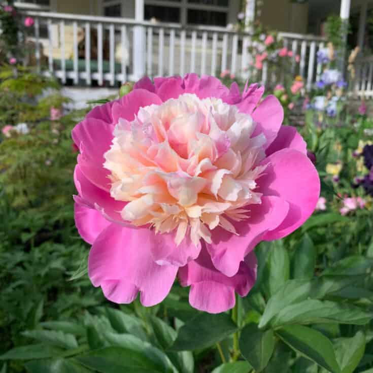 Bowl of Beauty Peony, Peony Planting