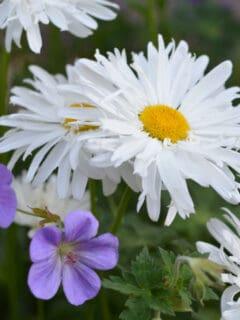double shasta daisy with rozanne hardy geranium bloom