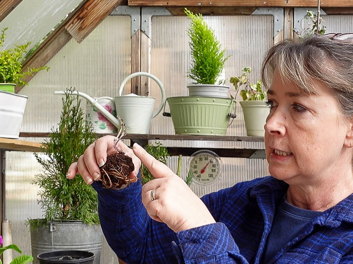 Pam inspecting a bare root clematis taken from the bag it was shipped in