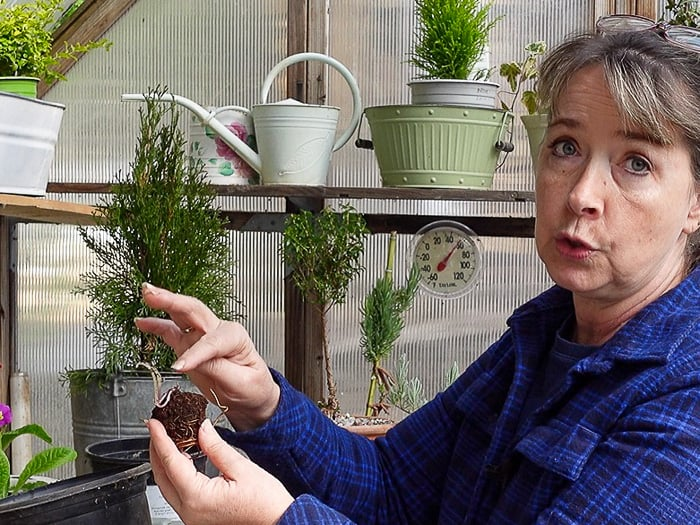 Pam pointing to crown of bare root clematis