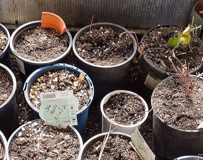 bare root perennials on floor of greenhouse until they can be planted in the garden
