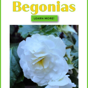White begonia flower with text overlay, How to Plant Tuberous Begonias, Learn More, Flower Patch Farmhouse dot com
