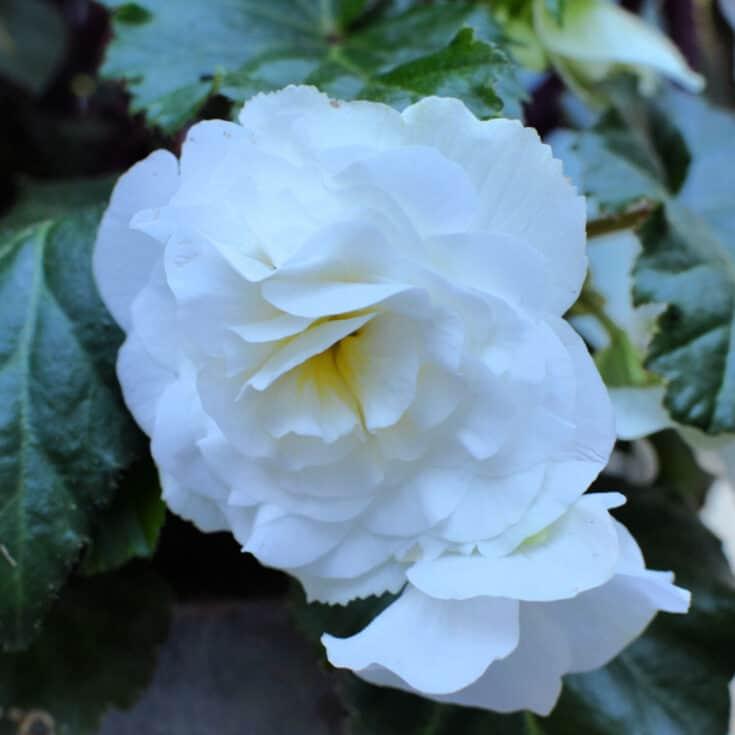white tuberous begonia flower