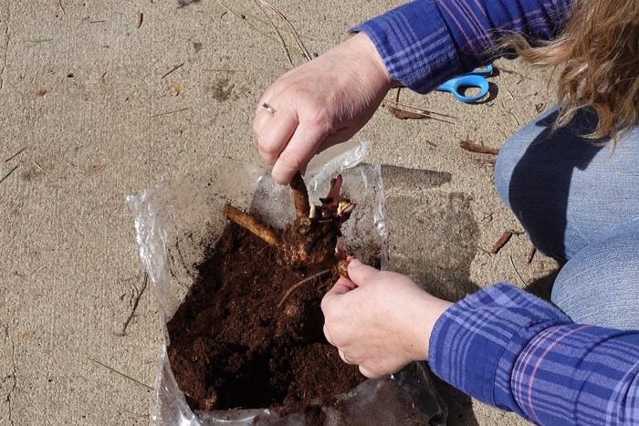 bare root peonies in bag of peat moss