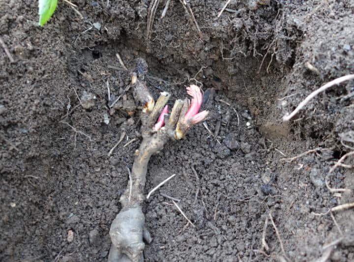 peony piece in planting hole