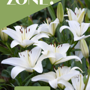 White asiatic lilies with text overlay, Garden by Zone? Why you shouldn't. Flower Patch Farmhouse . com