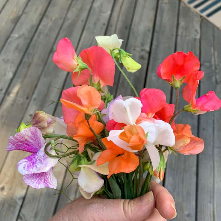 multi colored sweet pea bouquet, how to direct sow sweet peas