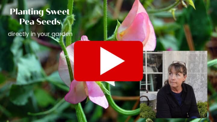 Direct sow sweet peas in your garden video