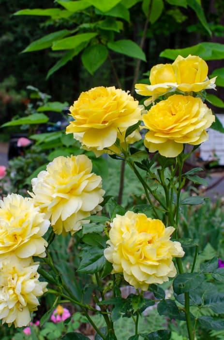 Graham Thomas David Austin rose, FlowerPatchFarmhouse.com
