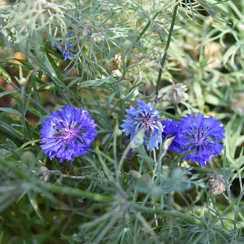 blue bachelors buttons in the garden, great as a cover crop and feeding the soil